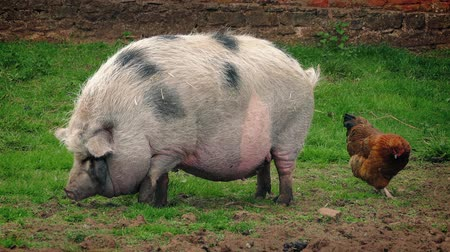 memeli : Large pot bellied pig waddles around and startles nearby chicken on the farm Stok Video