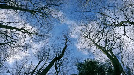 üzerinde : View from the ground of tree tops with clouds passing gently overhead