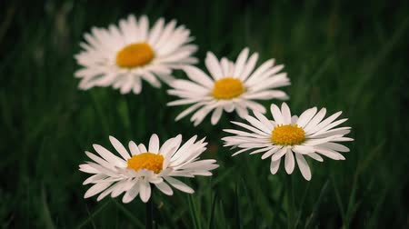 stokrotki : Macro shot of daisy flowers in gentle breeze