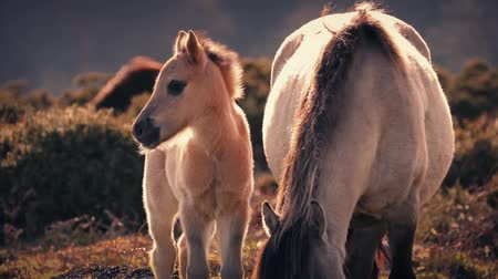 vahşi : Young horse stands next to her mother in sunset wilderness Stok Video