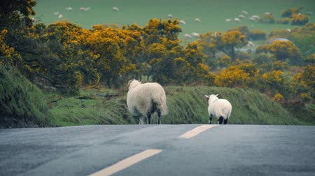 avoiding : Ewe crosses road with her baby lamb as car approaches in the distance