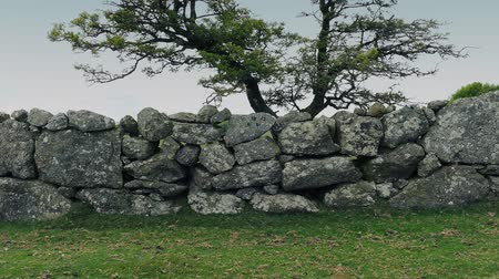 bok : Tracking shot of ancient hand-built stone wall in the countryside with gnarled old tree