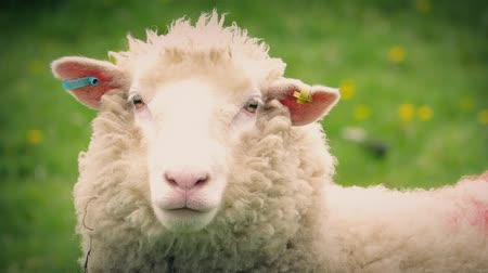 koyun : Closeup of woolly sheep looking forward in field