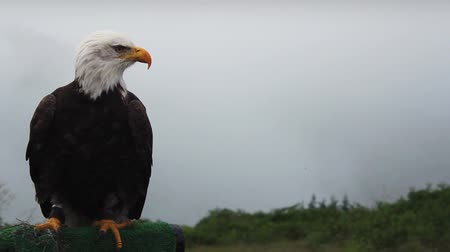 enevoado : Eagle Looks Around And Grooms Itself