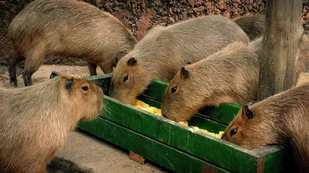small group of animals : Capybara Group Eating From Tray
