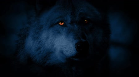 farkas : Wolf Looking Around At Night With Glowing Eyes