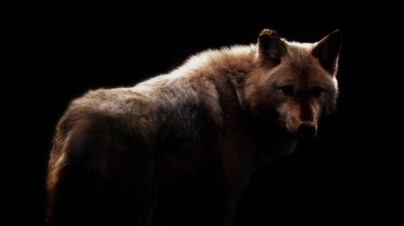 волк : Wolf In Dramatic Lighting On Black Background