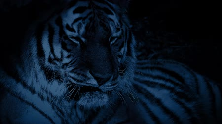 kaplan : Tiger In The Jungle At Night