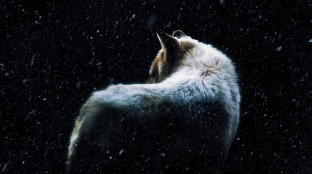 волк : Wolf In Dark Forest With Snow Falling