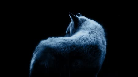 farkas : Wolf In Dramatic Moonlight On Black Stock mozgókép