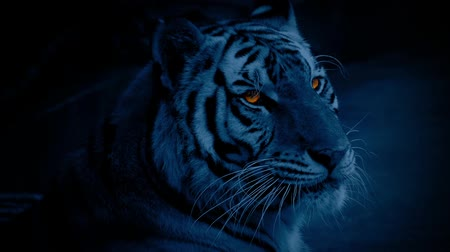 feroz : Tiger At Night With Glowing Eyes