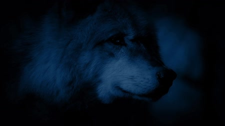 farkas : Wolf Alert In Forest At Night