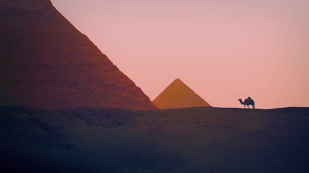 piramit : Camel Walks Near Pyramids Stok Video