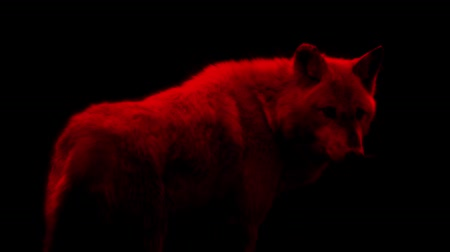 weerwolf : Blood Red Wolf Abstract