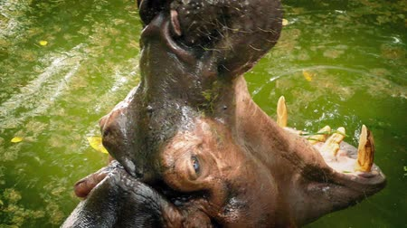 hippos : Hippo Roars And Submerges