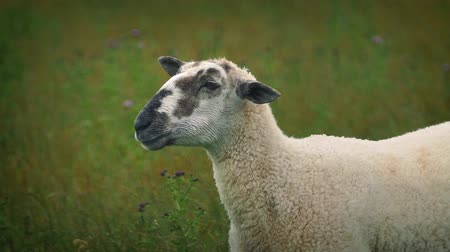 devedikeni : Sheep Chewing Grass Looks At Camera