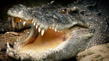 ağız : Big Crocodile Opens Mouth
