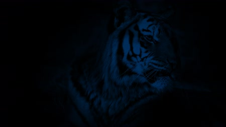 tigris : Tiger Yawning At Night