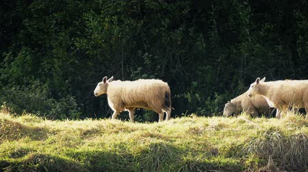 koyun : Sheep Walking Past In Evening Sunlight