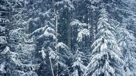 snows : Winter Forest In Heavy Snowfall Stock Footage