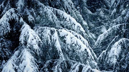 snows : Snow Covered Tree Branches In Snowfall Stock Footage
