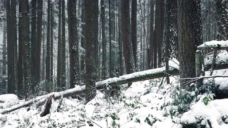 snows : Passing Forest Slope Buried In Snow Stock Footage