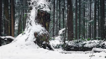 snows : Passing Huge Old Tree In Snowfall