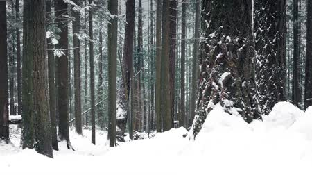 deep snow : Woodland In Deep Of Winter With Snow Falling