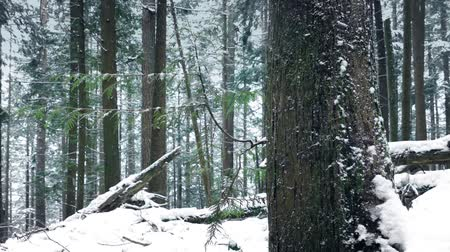 snows : Passing Pretty Forest Tree In The Snow