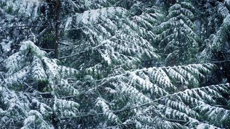 snows : Pine Tree In Winter With Snow Falling