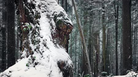snows : Old Tree Covered In Snow In Winter Forest