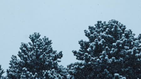 snows : Bushy Trees In Blizzard
