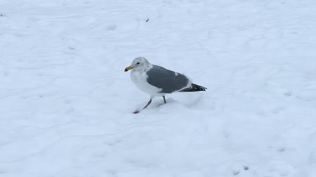 snows : Seagull Walking In The Snow