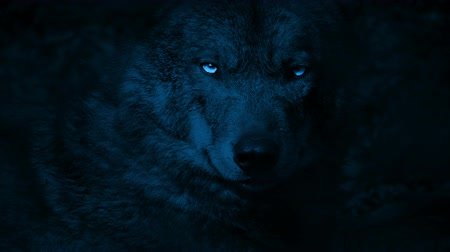farkas : Wolf Growls With Bright Eyes In The Dark