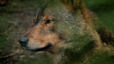 farkas : Wolf Side View In Forest