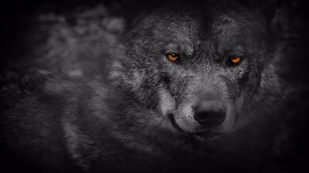 wilderness : Wolf Looking Around With Fiery Eyes Abstract Stock Footage