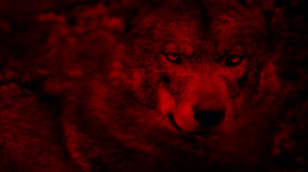 teatral : Wolf Looking Around Blood Red Abstract