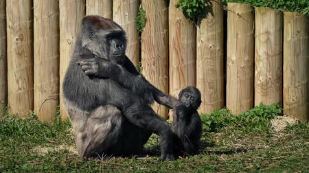 gorillas : Mother Gorilla With Baby At The Zoo