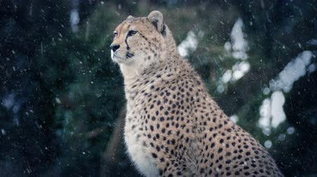 snows : Cheetah In Snowfall