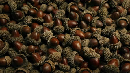 žalud : Countless Acorns Covering The Ground Dostupné videozáznamy