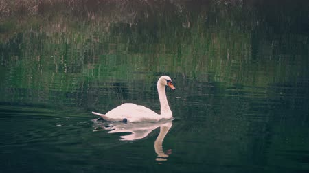лебедь : Swan Fishes Around River At Sunset