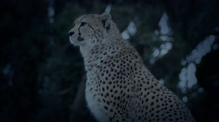 gepard : Cheetahs Looking Around In The Evening Wideo
