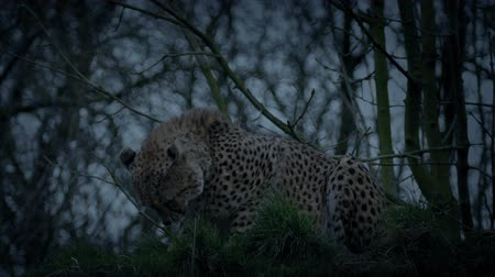 nagy macska : Cheetah Crouches And Stalks Off In The Evening