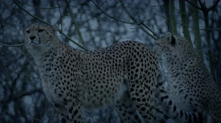 cheeta : Cheetahs In de avond Stockvideo