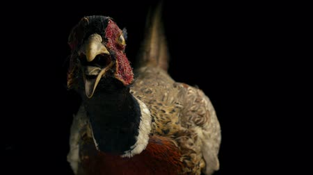 stuffed : Angry Pheasant Stuffed Animal Taxidermy Stock Footage