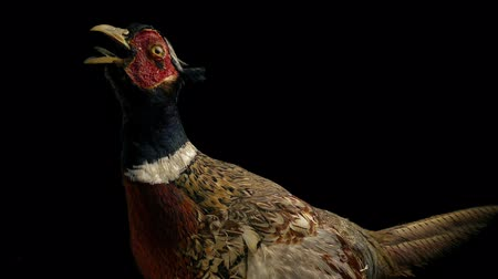 posou : Taxidermy Pheasant Bird Vídeos