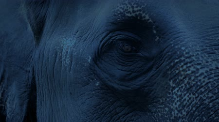 csorda : Elephant Looking Around In The Evening