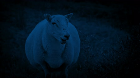 жевать : Sheep On Windy Hillside At Night