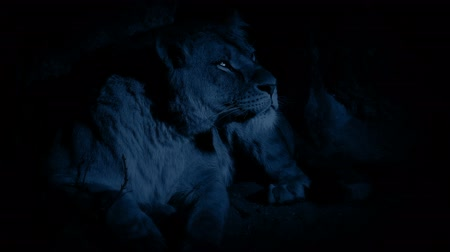 prowl : Lioness In Cave At Night