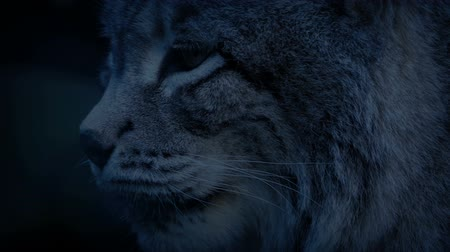 panthers : Big Cat Lynx In The Evening Stock Footage